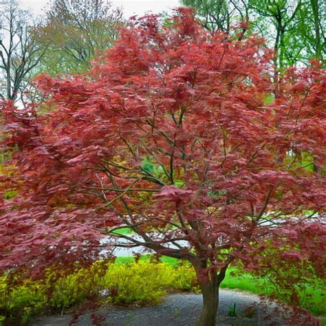 Sherwood Flame Japanese Maple For Sale Online   The Tree