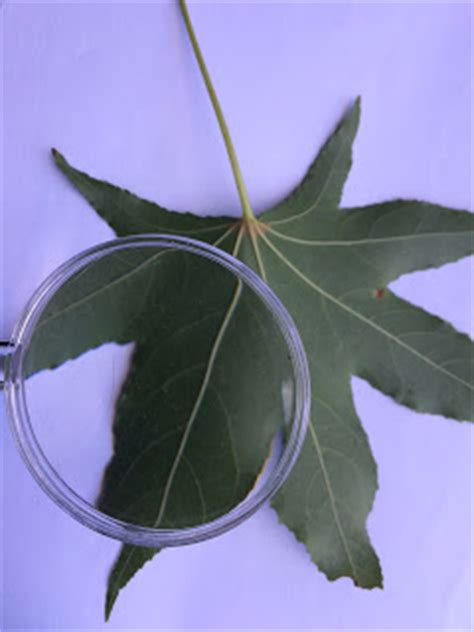 The Helpful Art Teacher: Drawing magnified leaves: Finding