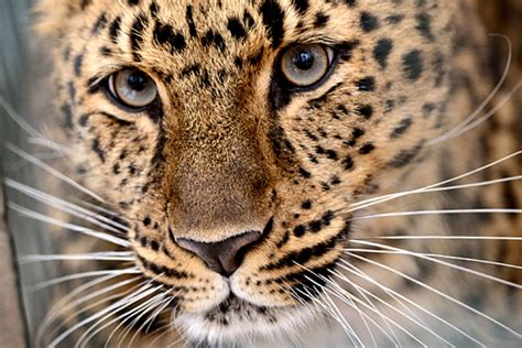 Indiana leopard: Since when did leopards live in Indiana