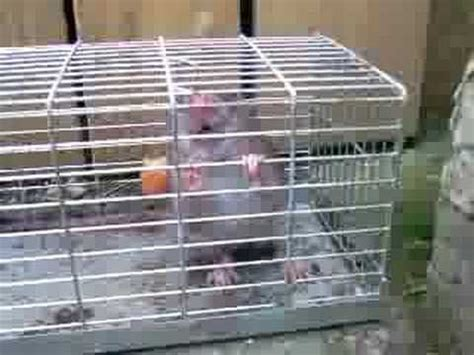 Big Rat in a cage trap - YouTube