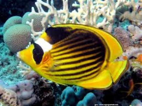 Diagonal Butterflyfish Information and Picture | Sea Animals