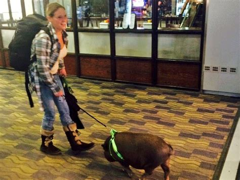 """Angelica Spanos on Twitter: """"Hobie the pig home for #"""